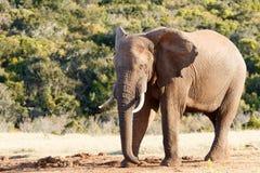 需要休息-非洲人布什大象 免版税图库摄影