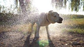 震动从他的毛皮的水的湿狗在湖附近在自然 在背景的太阳亮光 以后金毛猎犬或拉布拉多 股票视频