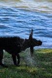 震动在垂度以后的滑稽的狗在湖 免版税图库摄影