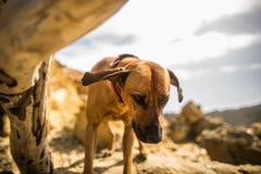 震动在岩石的Rhodesian Ridgeback狗 免版税库存图片