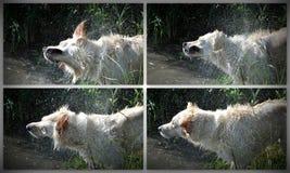 震动在河的金毛猎犬拼贴画 图库摄影
