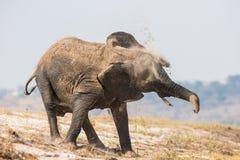 震动在他的身体的大象沙子 库存照片