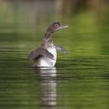 震动它的翼的共同的懒人小鸡烘干 免版税库存照片