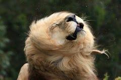 震动毛皮的公狮子 库存图片