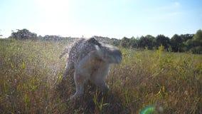 震动水滴的湿西伯利亚爱斯基摩人狗背面图从他的毛皮的在领域在晴天 幼小家畜 股票视频