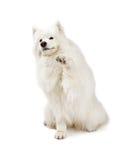 震动爪子的友好的萨莫耶特人狗 免版税库存图片