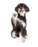 震动爪子的逗人喜爱的长卷毛狗混合品种狗 库存图片