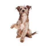 震动爪子的褴褛的狗小狗 库存图片