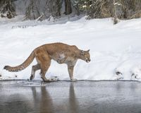震动雪的Mouontain狮子她的爪子 免版税库存照片