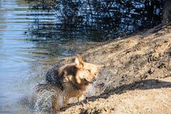 震动水的布朗狗在游泳以后 库存图片