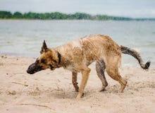 震动水的德国牧羊犬 免版税库存照片