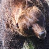 震动水的棕熊 免版税库存图片