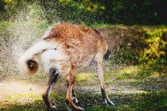 震动水的狗 免版税库存照片