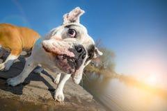 震动水的英国牛头犬狗 库存照片