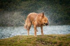 震动水的金毛猎犬在游泳在地方lak以后 免版税库存图片