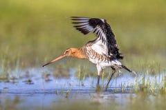震动水的黑被盯梢的黑尾豫趟水者鸟 免版税库存图片