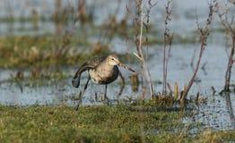 震惊在一个湿软的浸满水草甸黑盯梢了黑尾豫Limosa食物的limosa狩猎 库存照片