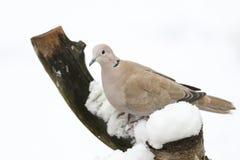 震惊抓住衣领口的鸠斑鸠decaocto的冬天场面在雪盖的一个老树桩栖息寻找食物 图库摄影