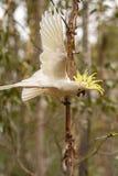 震惊的美冠鹦鹉在澳大利亚 免版税图库摄影