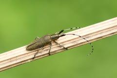 震惊金黄开了花栖息在植物词根的灰色长角牛甲虫Agapanthia villosoviridescens 库存图片