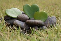霍亚在岩石的重点结构树 免版税库存图片