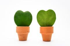 霍亚植物 免版税库存照片