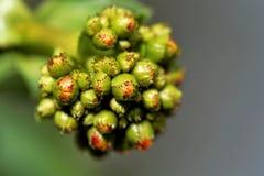 霍亚carnosa的芽 库存照片