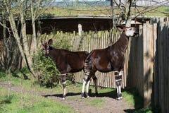 霍加披在Cheser动物园,彻斯特的Okapia johnstoni 免版税库存图片