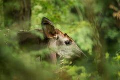 霍加披Okapia johnstoni、森林长颈鹿或者斑马长颈鹿、偶蹄动物的哺乳动物的当地人密林的或热带森林,刚果,非洲 免版税库存照片