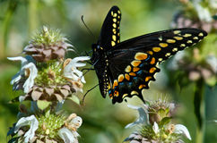 霍安Swallowtail蝴蝶 免版税库存照片