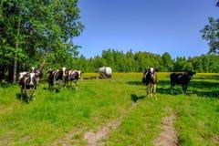 霍尔斯坦在草甸威胁牛 免版税库存照片