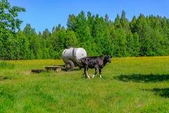 霍尔斯坦在草甸威胁牛 库存照片