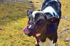 霍尔斯坦操舵母牛小牛 免版税库存图片