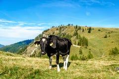 霍尔斯坦母牛在奥地利阿尔卑斯的牧场地 免版税库存照片