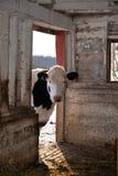 霍尔斯坦锐化入谷仓的操舵母牛在农场 图库摄影