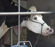 霍尔斯坦黑白花的牛,牛奶 库存照片
