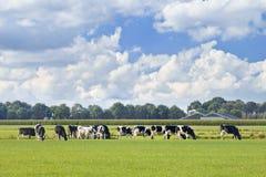 霍尔斯坦黑白花的牛在有蓝色多云天空的一个绿色荷兰草甸 免版税图库摄影