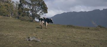 霍尔斯坦Fresian母牛 免版税库存图片