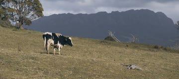 霍尔斯坦Fresian母牛 免版税库存照片