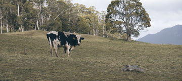 霍尔斯坦Fresian母牛 库存照片