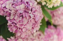 霍滕西亚花,八仙花属花,背景 免版税库存照片