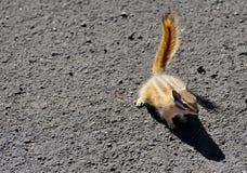 霍皮族花栗鼠 库存照片