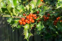 霍莉、红色莓果和绿色叶子 免版税库存图片