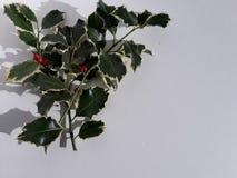 霍莉小树枝 免版税图库摄影