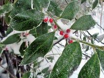 霍莉布什& x28; 冬青属Aquifolium& x29;用在雪的莓果 图库摄影