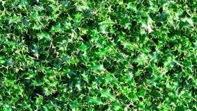 霍莉植物-背景 免版税库存照片