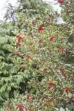 霍莉灌木准备好在冬天季节 免版税图库摄影