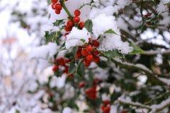 霍莉美丽的红色莓果和锐利特写镜头在树离开在冷的冬天天气 被弄脏的背景 免版税库存照片