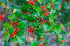 霍莉莓果和叶子 免版税图库摄影