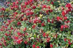 霍莉莓果 库存图片